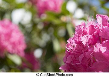roze, flower.