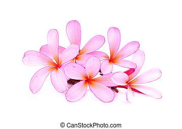 roze, frangipani, (plumeria), bloem, vrijstaand, op wit, achtergrond