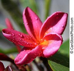 roze, frangipani