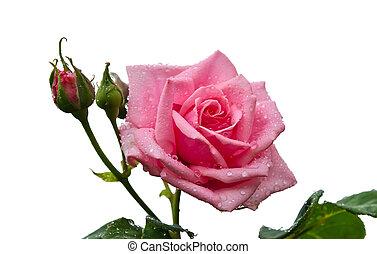 roze, fris, roos