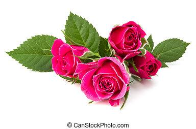 roze, hoofd, bloem, roos, vrijstaand, achtergrond, witte , cutout