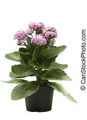 roze, kalanchoe, bloem, plant, vrijstaand, op wit, achtergrond