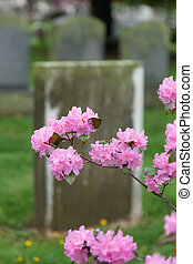 roze, kers, oud, grafsteen, bloesems