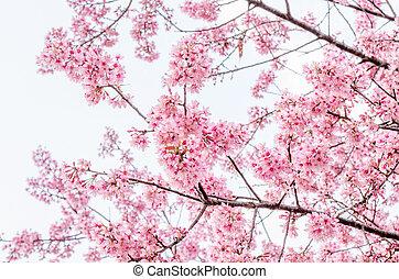 roze, kers, (sakura), blossom