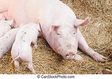 roze, kleine, voer, zwijnen, varken