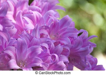 roze, lelies