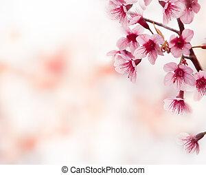 roze, lente, achtergrond, bloesems, kers