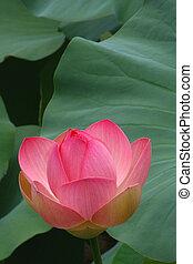 roze, lotus