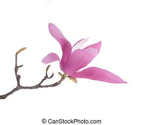 roze, magnolia, bloemen, vrijstaand, op wit, achtergrond