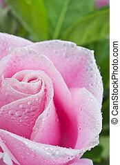 roze, mooi, roos