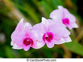 roze, orchids