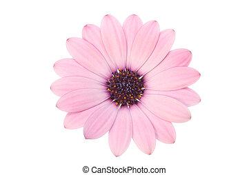 roze, osteospermum