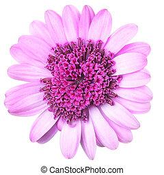 roze, osteosperumum, (dimorphoteca)flower, madeliefje, vrijstaand, op wit, achtergrond., macro, closeup