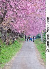 roze, (sakura), walkway, de bloesem van de kers