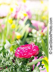 roze, tuin, bloem, omringde, daffodils., boterbloem, gele, ranunculus