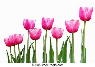 roze, tulp, bloemen