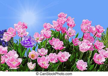 roze, tulpen, fringed