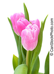roze, tulpen, op wit, achtergrond