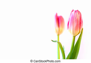 roze, tulpen, op wit, achtergrond.