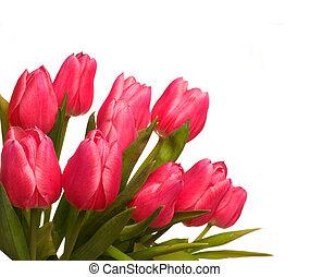 roze, tulpen, op wit