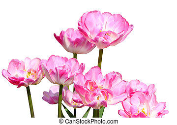 roze, tulpen