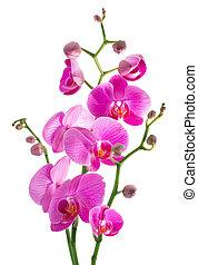 roze, witte bloemen, back, orchidee