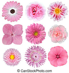 roze, witte bloemen, vrijstaand, verzameling