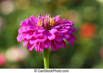 roze, zinnia, close-up, bloemtuin
