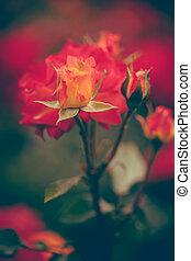 rozen, in, tuin