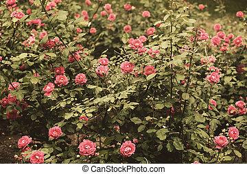rozen, retro, tuin