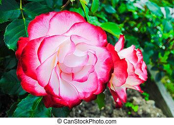 rozen, roze, mooi, witte