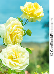 rozen, tuin, bos