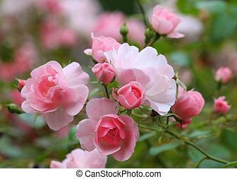 rozen, tuin