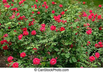 rozen, tuin, rood