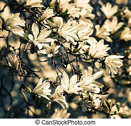 rozkwiecony, magnoliowe drzewo