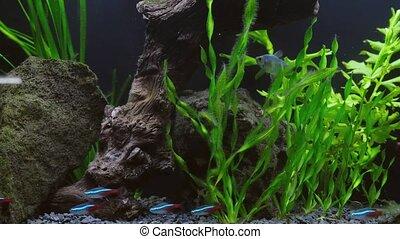 rozmaitość, dom, aquarium., ryby, dekoracyjny, egzotyczny