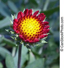 rozwój, kwiat