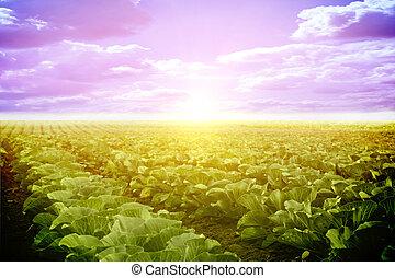 rozwój, lato, warzywa, pole
