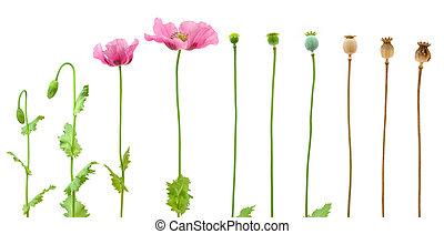 rozwój, od, opium, mak, odizolowany, na białym, tło