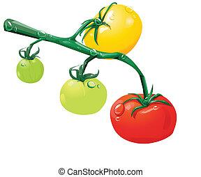 rozwój, pomidory