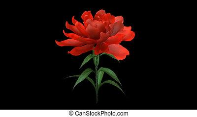 rozwój, róża, kwiat, chan, alfa