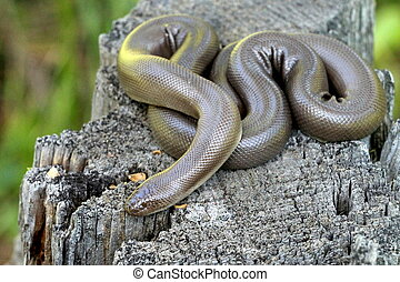 Rubber Boa - Charina bottae