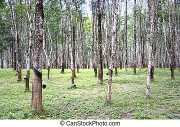 Rubber Estate - Rows of tapped rubber trees at a rubber ...