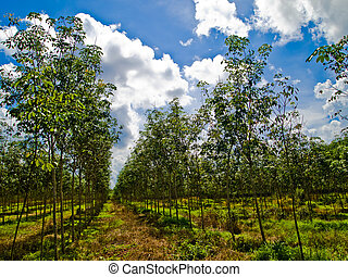 Rubber forest with blue sky1