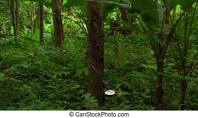 Rubber Latex extracted from rubber tree - Tropical rubber...