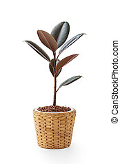 Rubber plant in wicker pot isolated on white background