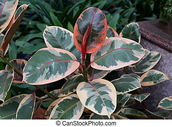 Rubber plant Ruby