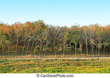 Rubber plantation in Thailand