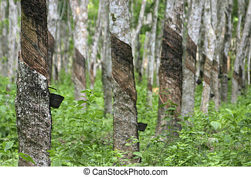 Rubber Plantation - Rubber trees in a plantation in Malaysia...