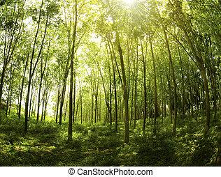 Sunbeam shine through the rubber tree plantation.